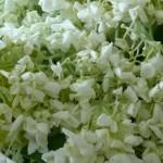 geschnittene Hortensien ohne homöopathische Behandlung